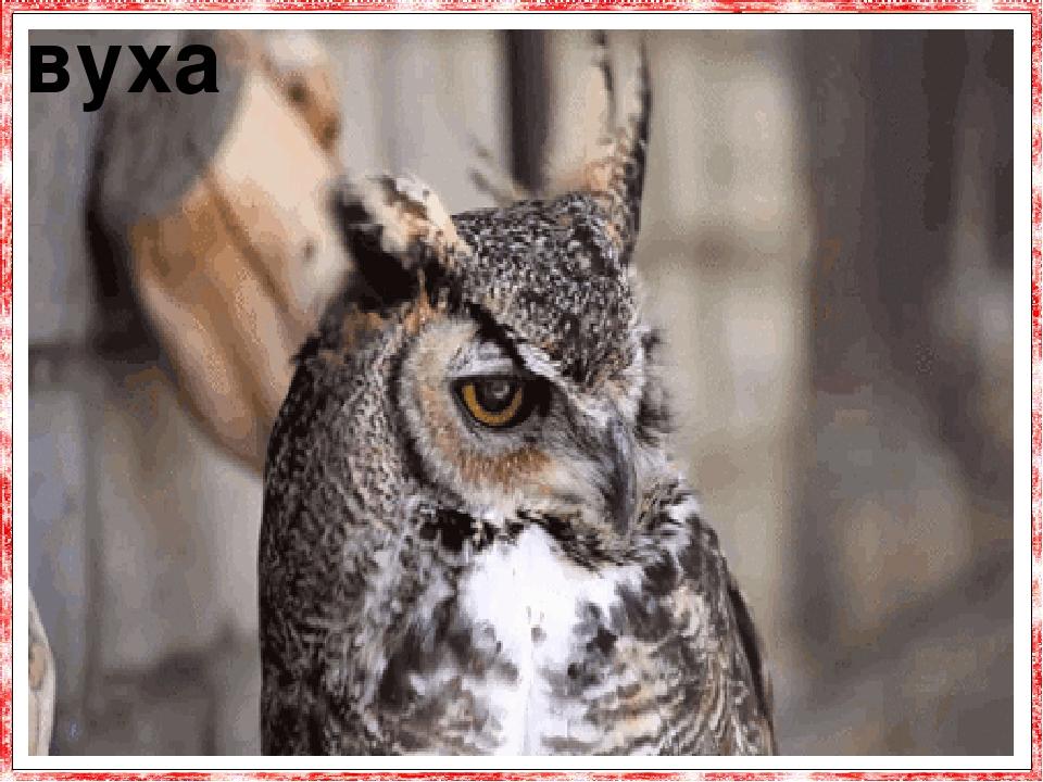 Вуха у сови розташовані по обидві сторони диска мордочки, причому, у цих птахів такий тонкий слух, що деякі сови місце знаходження своєї здо-бичі в...