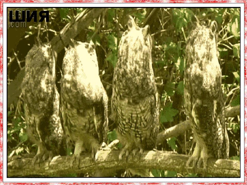 У сови найрухливіша шия зі всіх птахів. Завдяки цьому вона може повертати голову на 270 так, щоб бачити, що знаходиться за спиною. Сова си-дить на ...