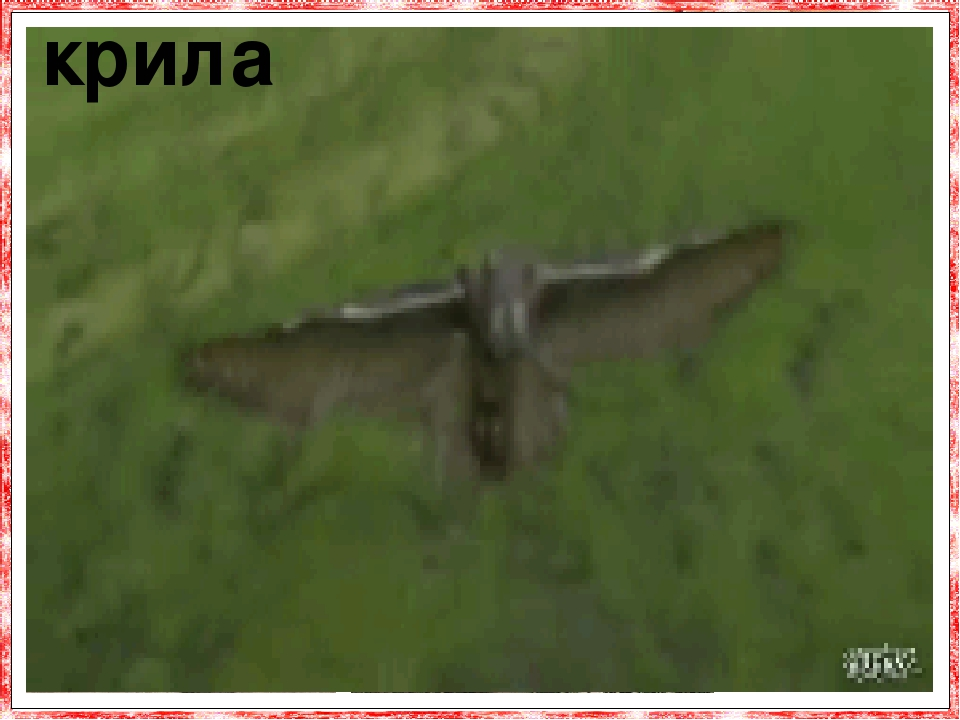 Крила відносно великі, округлі. У порівнянні з вагою тіла крила у сови великі, так що вона літає і планує, не докладаючи особливих зусиль і абсо-лю...