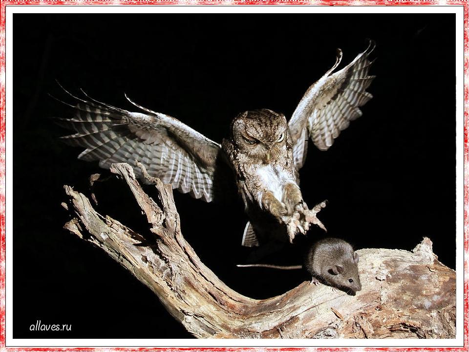 Сови майже завжди харчуються живою здобиччю. Їх раціон - миші, полівки, землерийки, щури, ле-мінги, кролики, дощові черв'яки, різні комахи, гі-рськ...