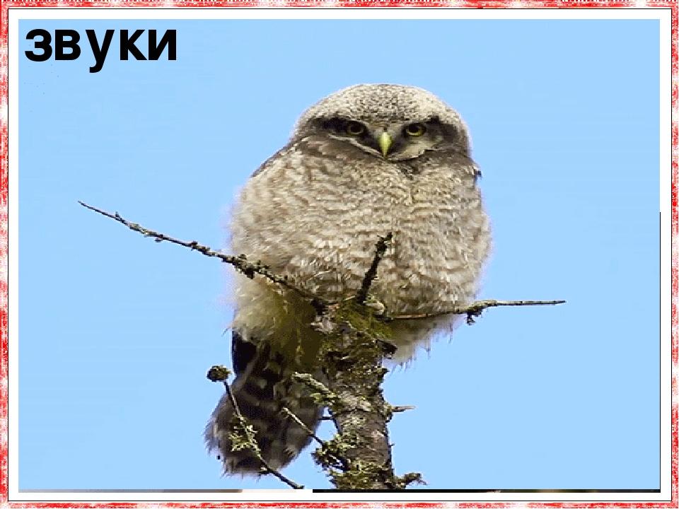 Сови - птахи досить красномовні. Їх репертуар включає набагато більше звуків, ніж знайоме уха-ння. Особлива балакучість властива совам у пері-од ро...