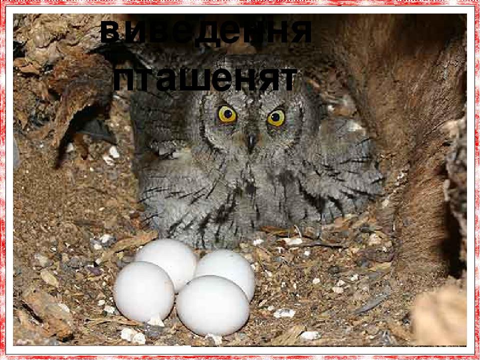 Звичайно сова мало трудиться над своїм гніздом і часто кладеяйцяпрямо без жодної підстилки. Со-ви утворюють постійні пари. Розмножуються за-звича...