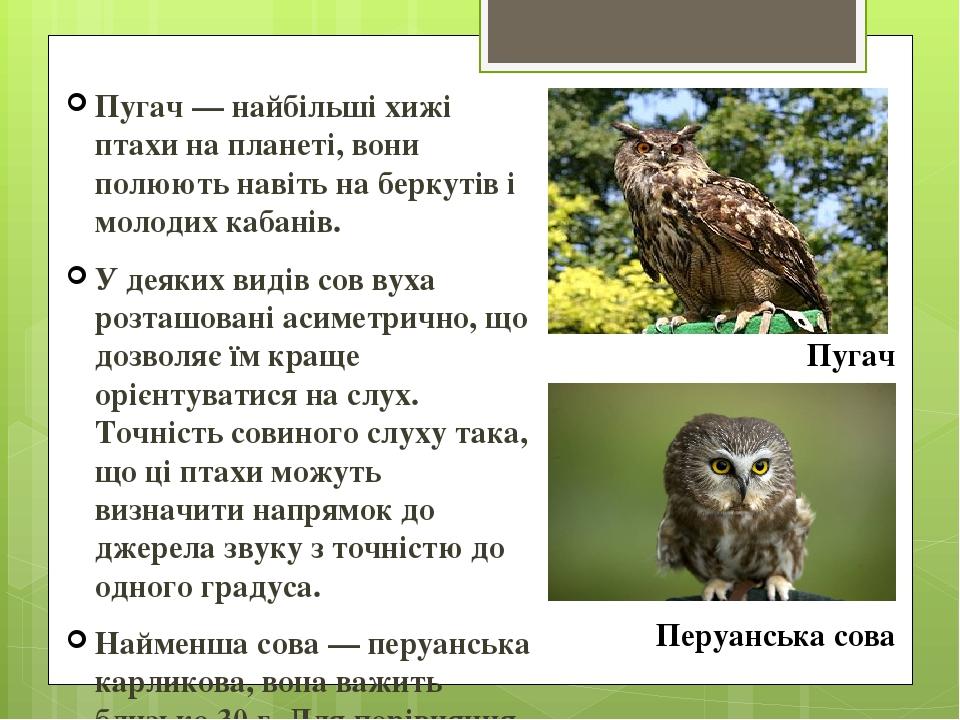 Пугач — найбільші хижі птахи на планеті, вони полюють навіть на беркутів і молодих кабанів. У деяких видів сов вуха розташовані асиметрично, що доз...