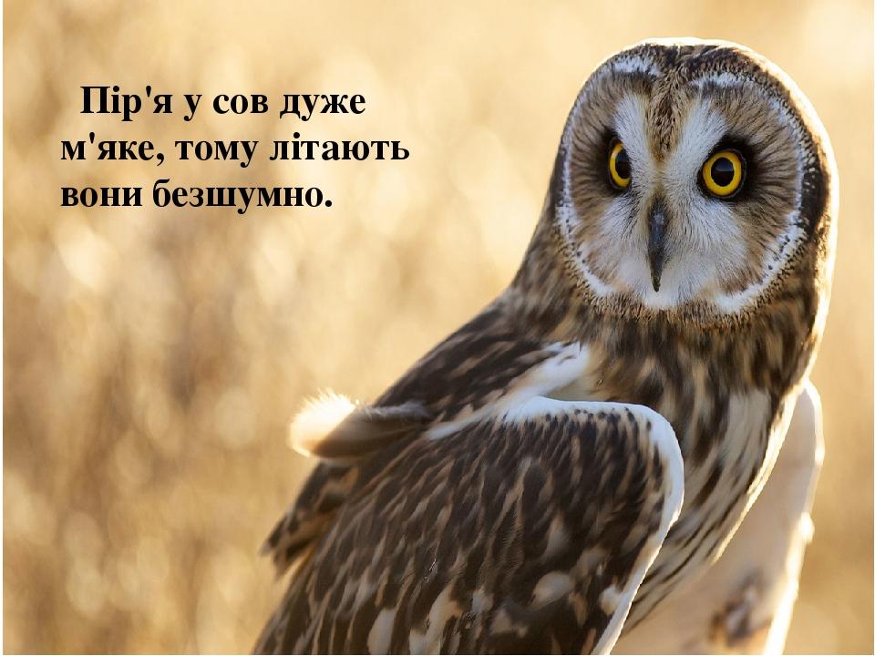 Пір'я у сов дуже м'яке, тому літають вони безшумно.
