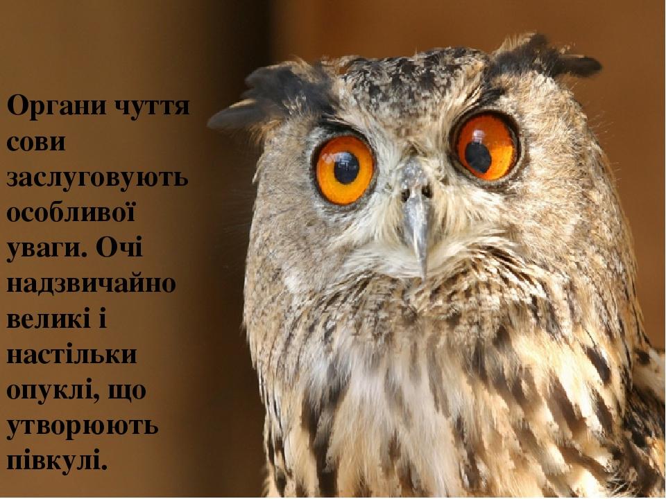 Органи чуття сови заслуговують особливої уваги. Очі надзвичайно великі і настільки опуклі, що утворюють півкулі.