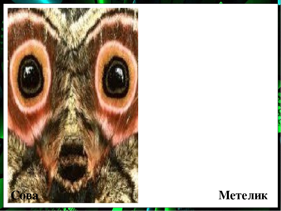 Сова Метелик