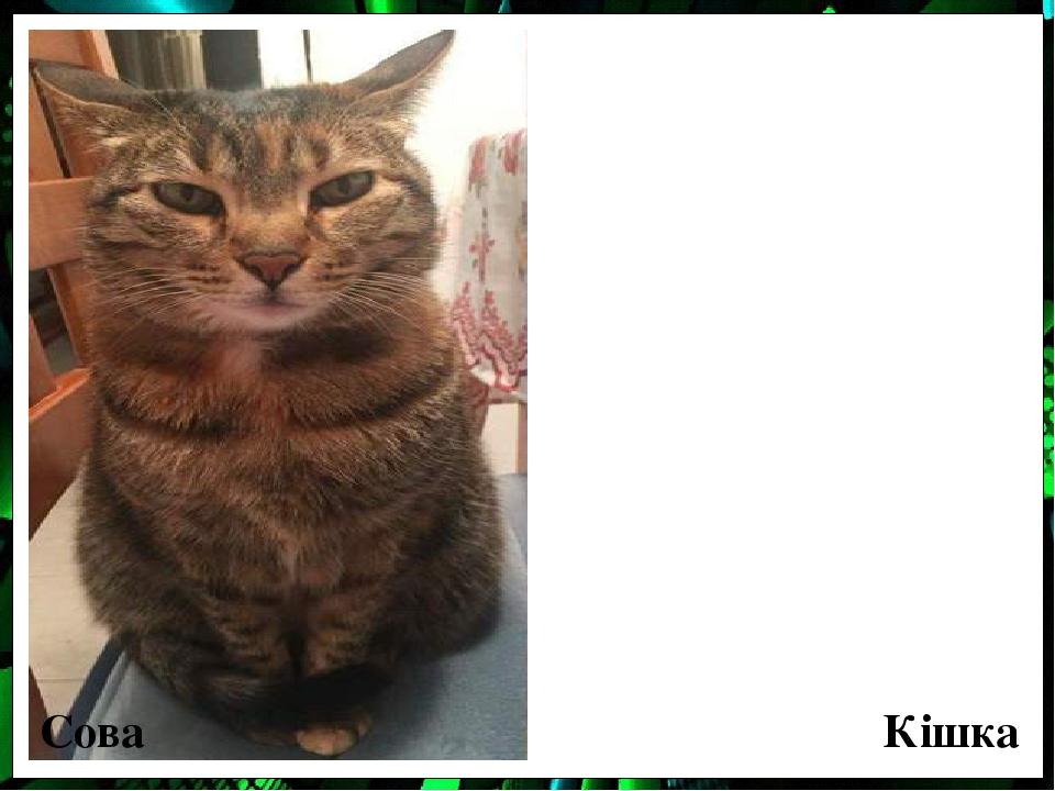 Сова Кішка