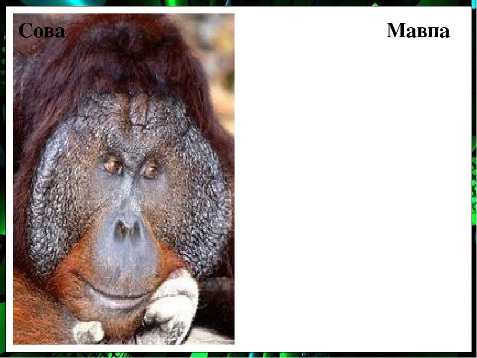Сова Мавпа