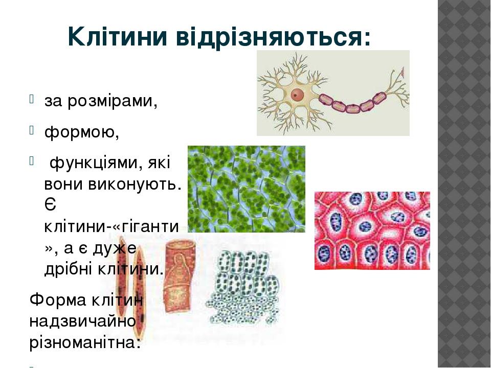 Клітини відрізняються: за розмірами, формою, функціями, які вони виконують. Є клітини-«гіганти», а є дуже дрібні клітини. Форма клітин надзвичайно ...