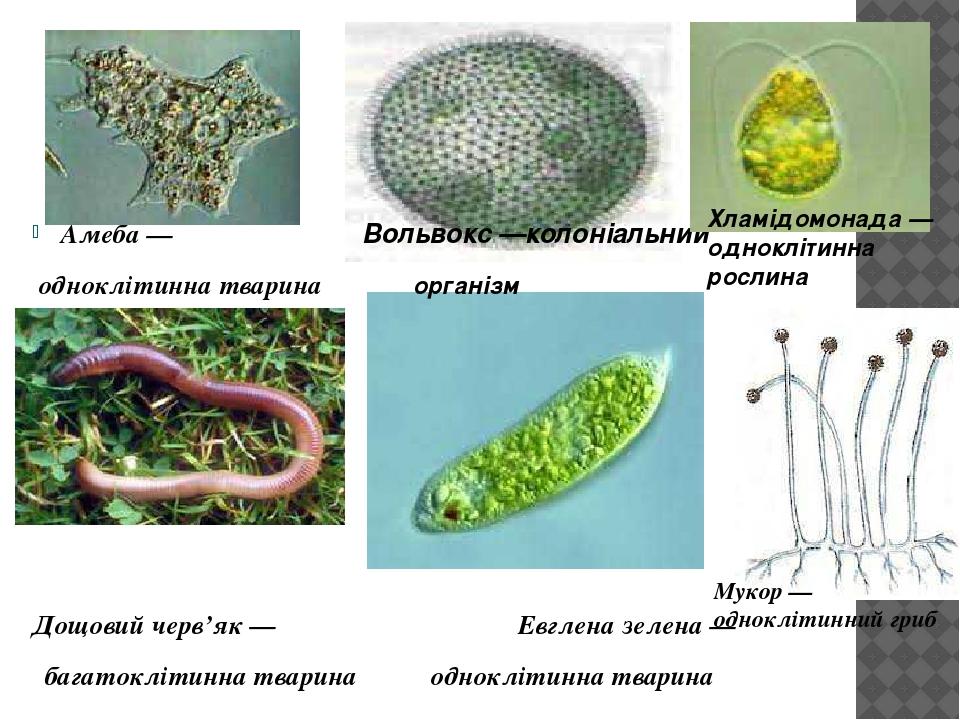 Амеба — Вольвокс —колоніальний одноклітинна тварина організм Дощовий черв'як — Евглена зелена — багатоклітинна тварина одноклітинна тварина Хламідо...