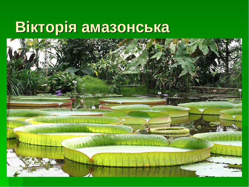 Вікторія амазонська
