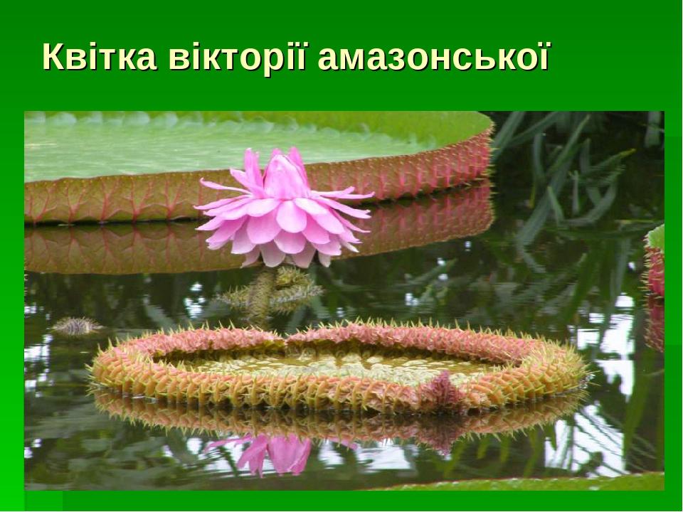 Квітка вікторії амазонської
