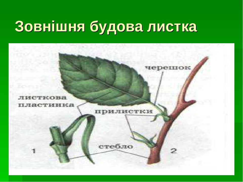 Зовнішня будова листка