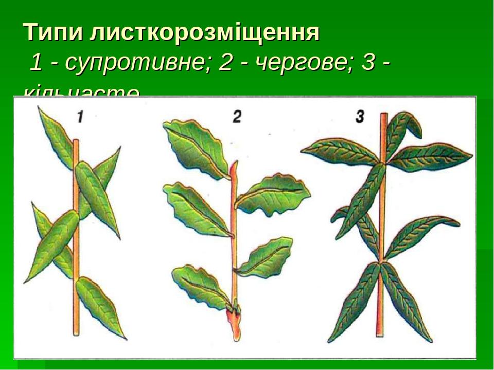 Типи листкорозміщення 1 - супротивне; 2 - чергове; 3 - кільчасте