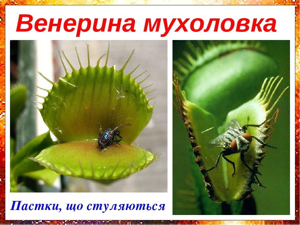 Пастки, що стуляються Венерина мухоловка