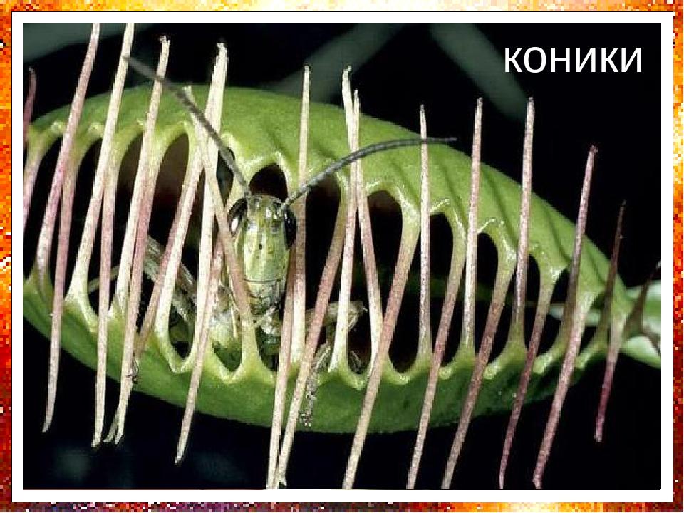Венерина мухоловка - єдина рослина, у якої вилов комах швидким рухом пастки можна спостерігати навіть неозброєним оком. Зуст-річається на болотах А...