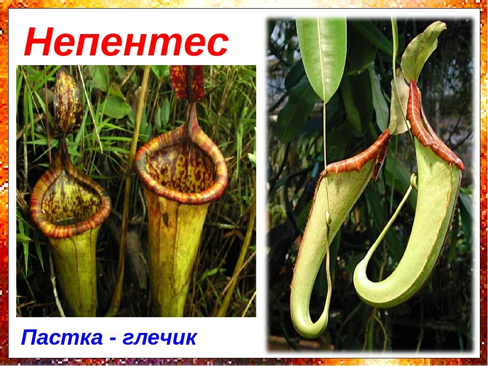 Непентес Пастка - глечик