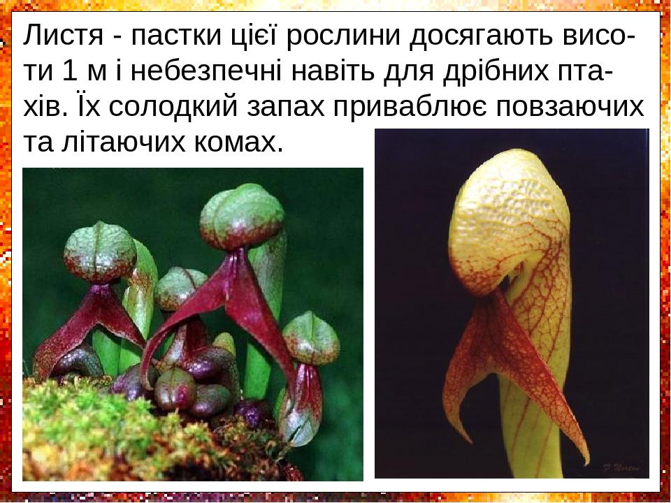 Рослина-кобра - таке популярне назву отри-мала дарлінгтонія завдяки виростам, що на-гадує червоні перекручені язики змії, і дійс-но, листя нагадуют...