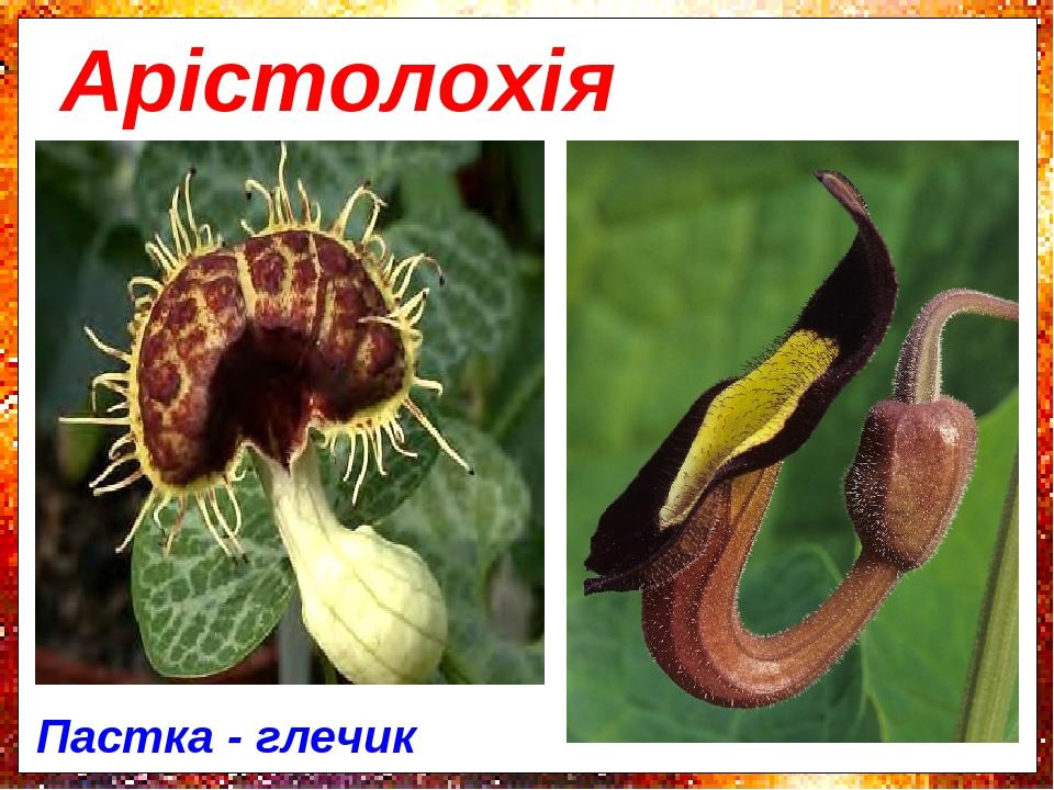 Арістолохія Пастка - глечик