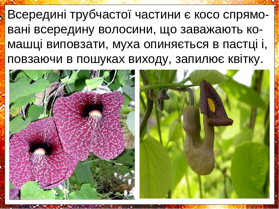 Плямисте забарвлення відігнутого язичка на-гадує гниюче м'ясо, квітки багатьох видів та-кож випускають неприємний запах, який при-ваблює мух. Всере...