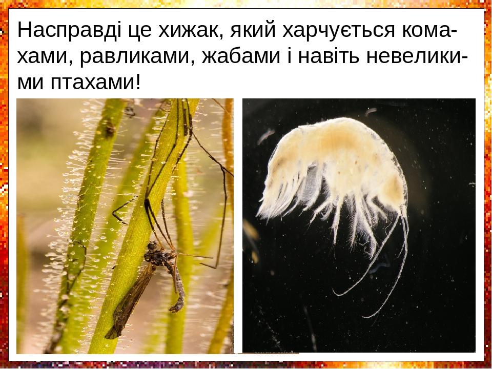 Біблиси - комахоїдні рослини, навіть зовні схожі на росички, проте не мають з ними бли-зького споріднення. Це невисокі чагарники висотою до 70 см. ...