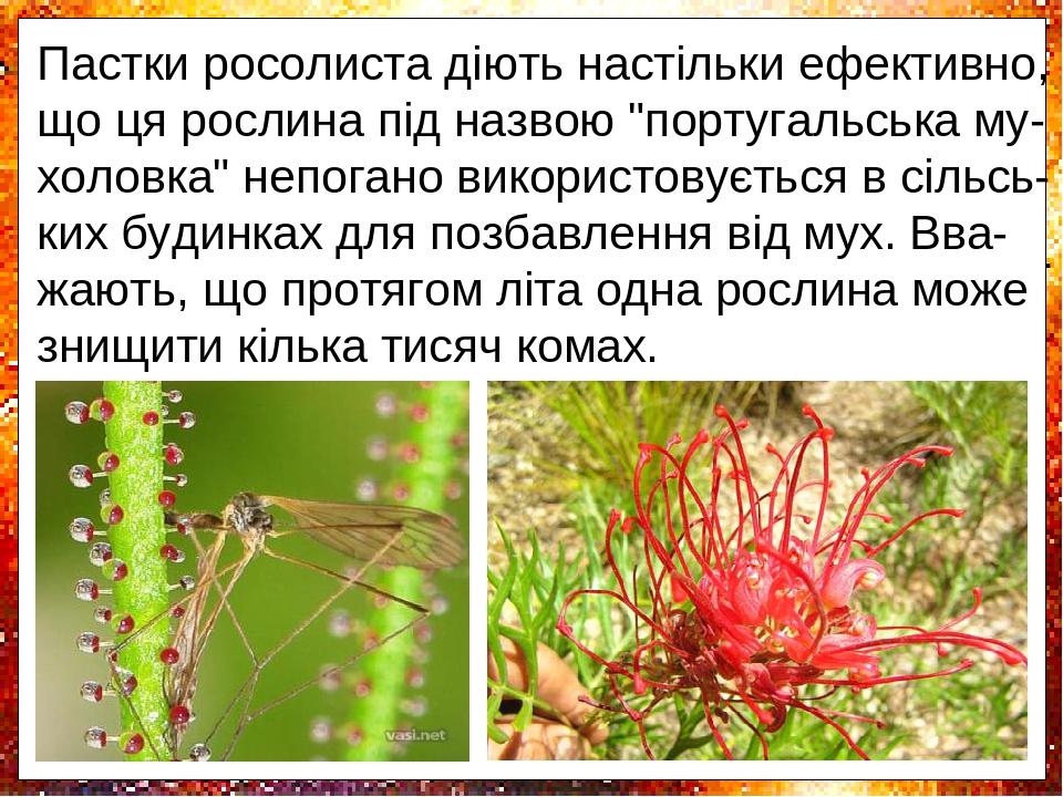Одні залози виділяють клейку рідину, завдя-ки якій комахи прилипають до її листя. Інші - виробляють травні ферменти, які забезпечу-ють перетравленн...