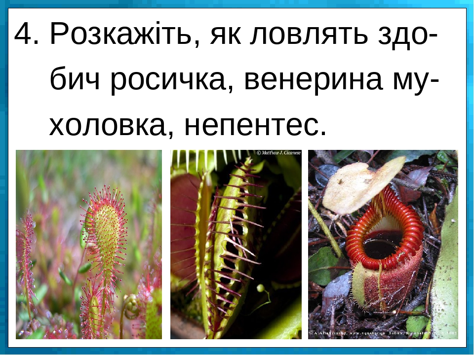 4. Розкажіть, як ловлять здо- бич росичка, венерина му- холовка, непентес.
