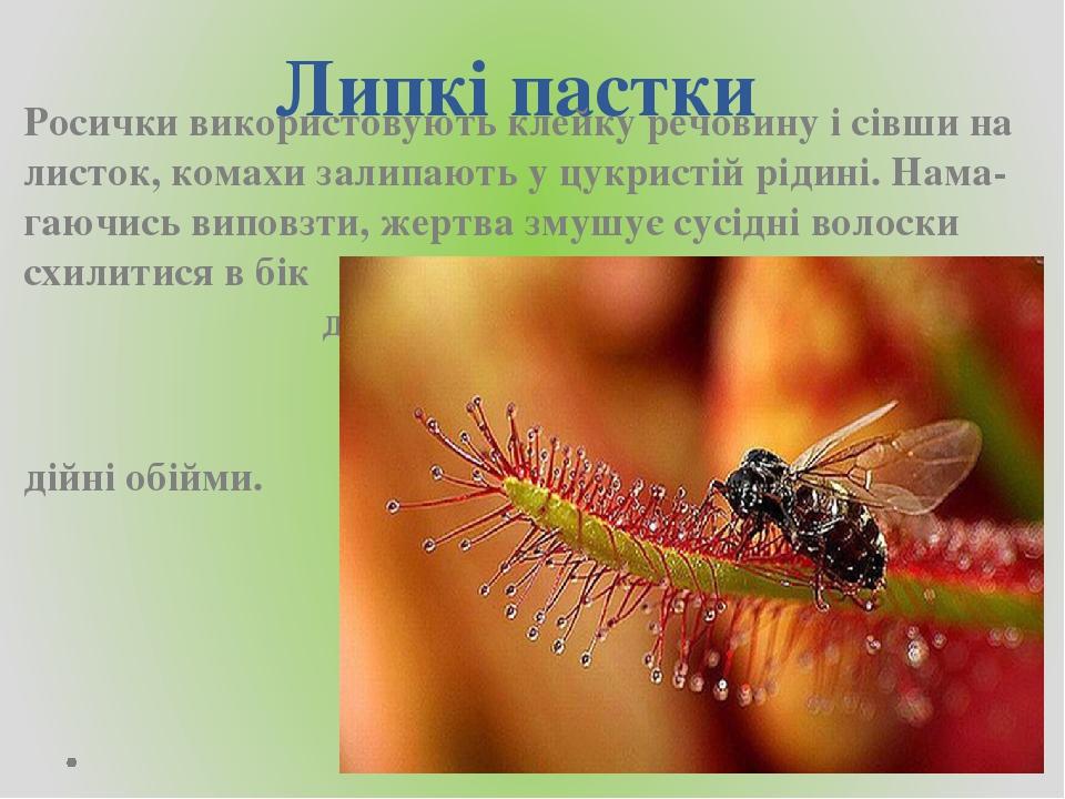 Липкі пастки Росички використовують клейку речовину і сівши на листок, комахи залипають у цукристій рідині. Нама-гаючись виповзти, жертва змушує су...