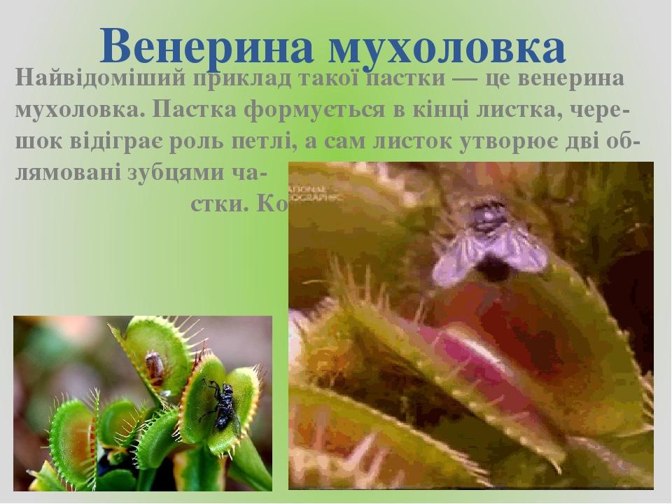 Венерина мухоловка Найвідоміший приклад такої пастки — це венерина мухоловка. Пастка формується в кінці листка, чере-шок відіграє роль петлі, а сам...