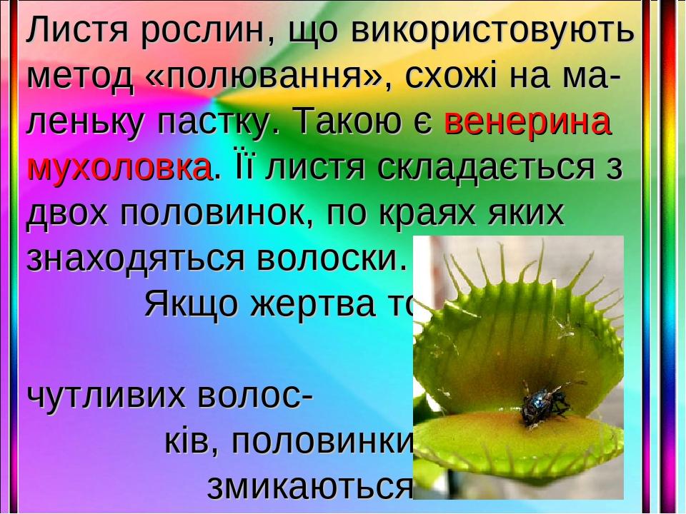Листя рослин, що використовують метод «полювання», схожі на ма-леньку пастку. Такою є венерина мухоловка. Її листя складається з двох половинок, по...