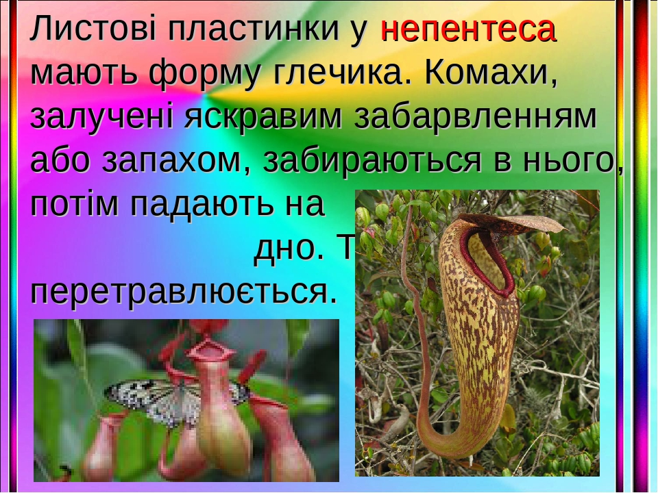 Листові пластинки у непентеса мають форму глечика. Комахи, залучені яскравим забарвленням або запахом, забираються в нього, потім падають на дно. Т...