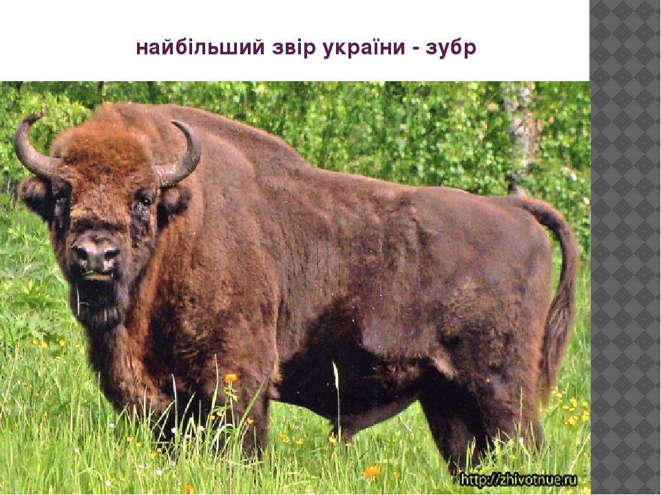 найбільший звір україни - зубр