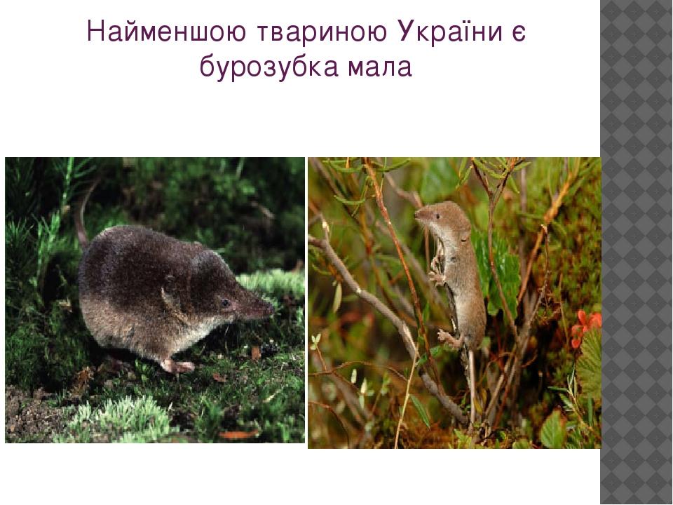 Найменшою твариною України є бурозубка мала