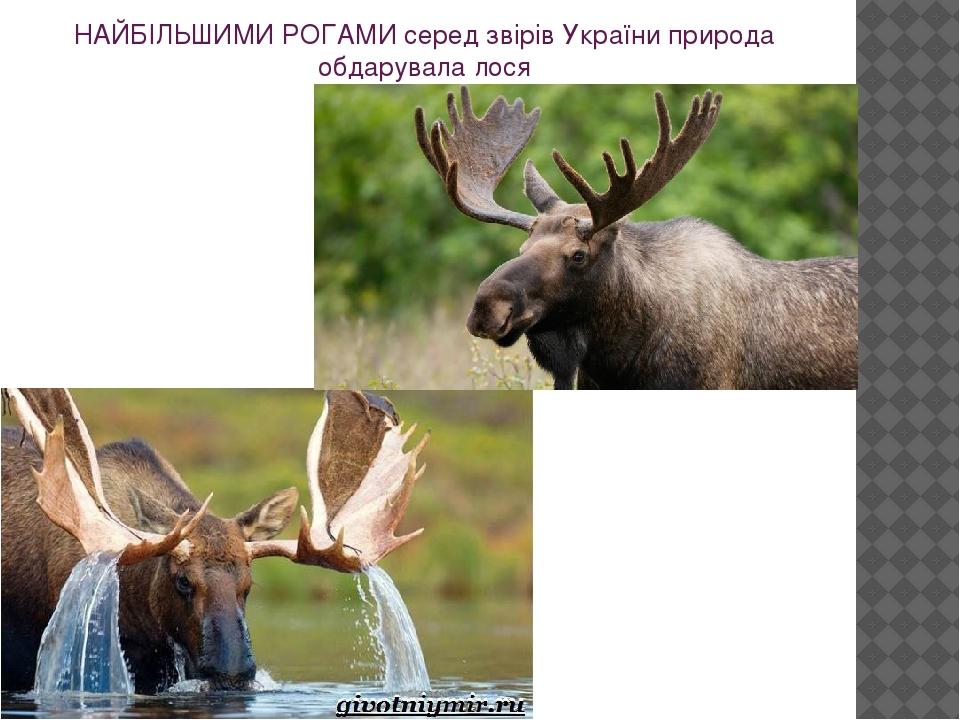 НАЙБІЛЬШИМИ РОГАМИ серед звірів України природа обдарувала лося
