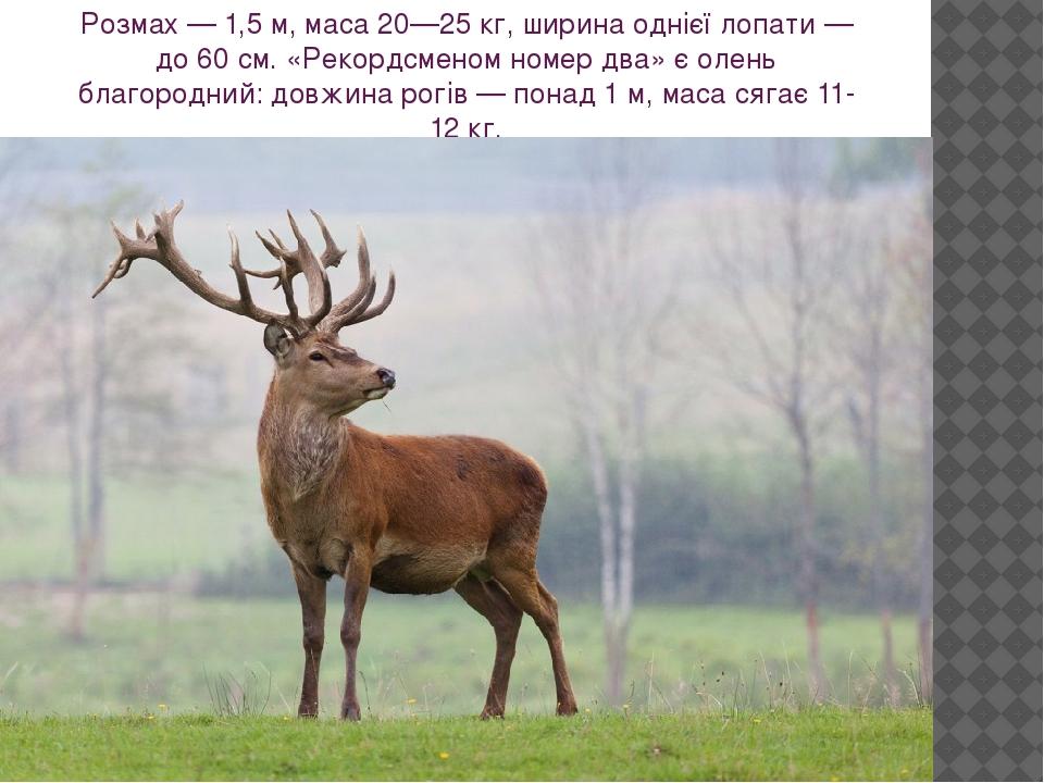 Розмах — 1,5 м, маса 20—25 кг, ширина однієї лопати — до 60 см. «Рекордсменом номер два» є олень благородний: довжина рогів — понад 1 м, маса сягає...