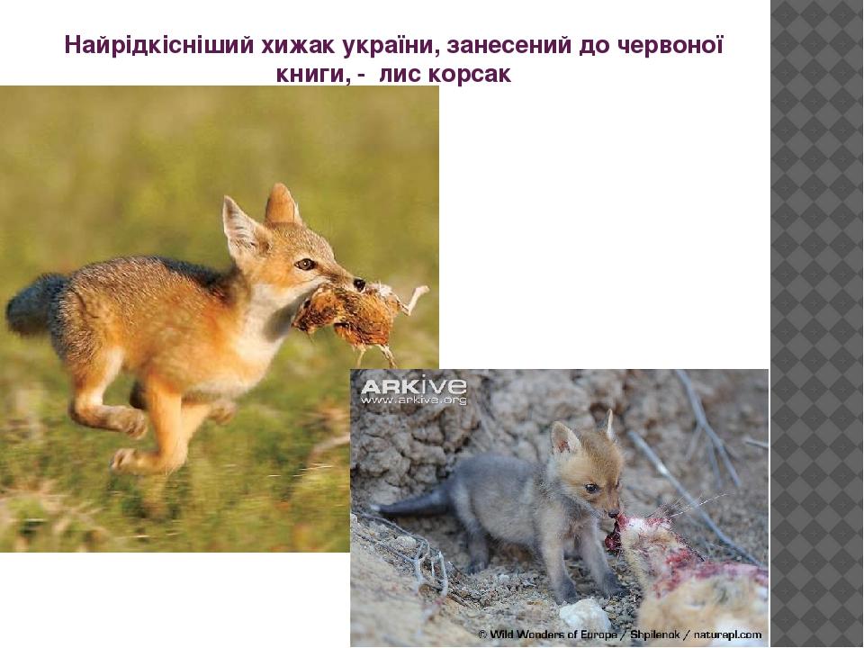 Найрідкісніший хижак україни, занесений до червоної книги, - лис корсак