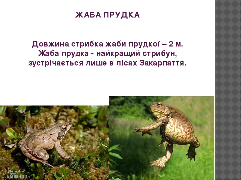 ЖАБА ПРУДКА Довжина стрибка жаби прудкої – 2 м. Жаба прудка - найкращий стрибун, зустрічається лише в лісах Закарпаття.
