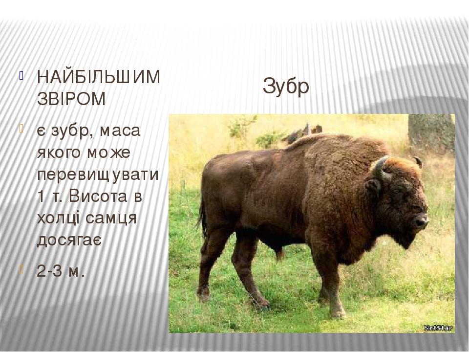 Зубр НАЙБІЛЬШИМ ЗВІРОМ є зубр, маса якого може перевищувати 1 т. Висота в холці самця досягає 2-3 м.