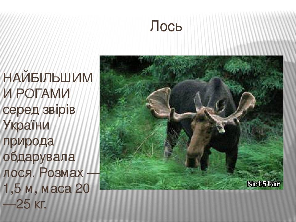 Лось НАЙБІЛЬШИМИ РОГАМИ серед звірів України природа обдарувала лося. Розмах — 1,5 м, маса 20—25 кг.