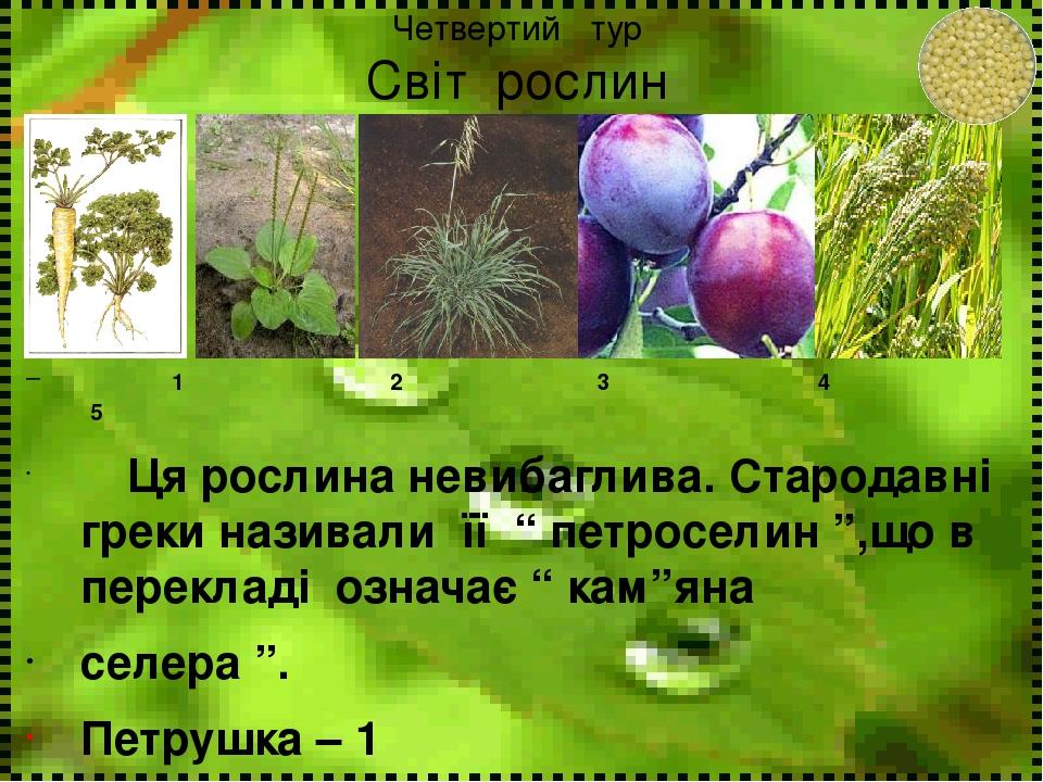 """Четвертий тур Світ рослин 1 2 3 4 5 Ця рослина невибаглива. Стародавні греки називали її """" петроселин """",що в перекладі означає """" кам""""яна селера """". ..."""
