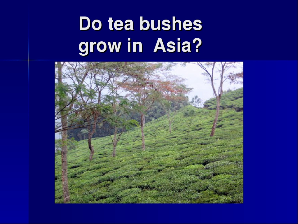Do tea bushes grow in Asia?