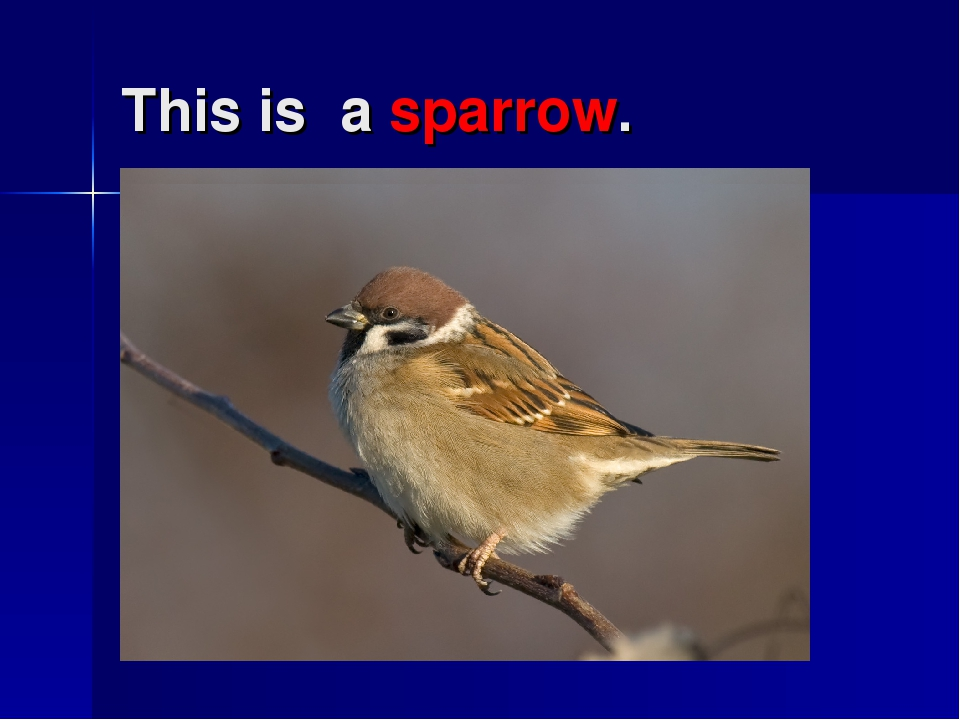 This is a sparrow.