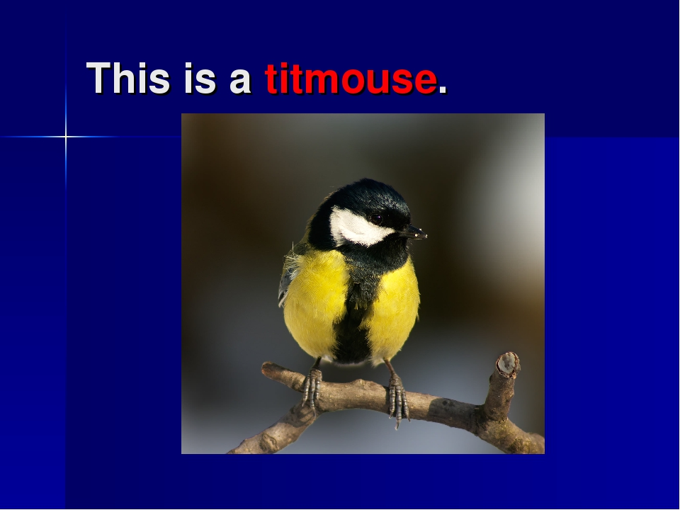 This is a titmouse.