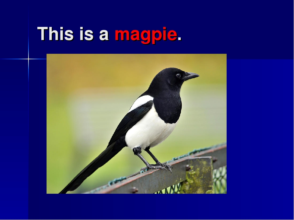 This is a magpie.