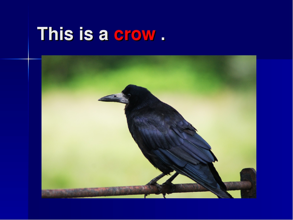 This is a crow .
