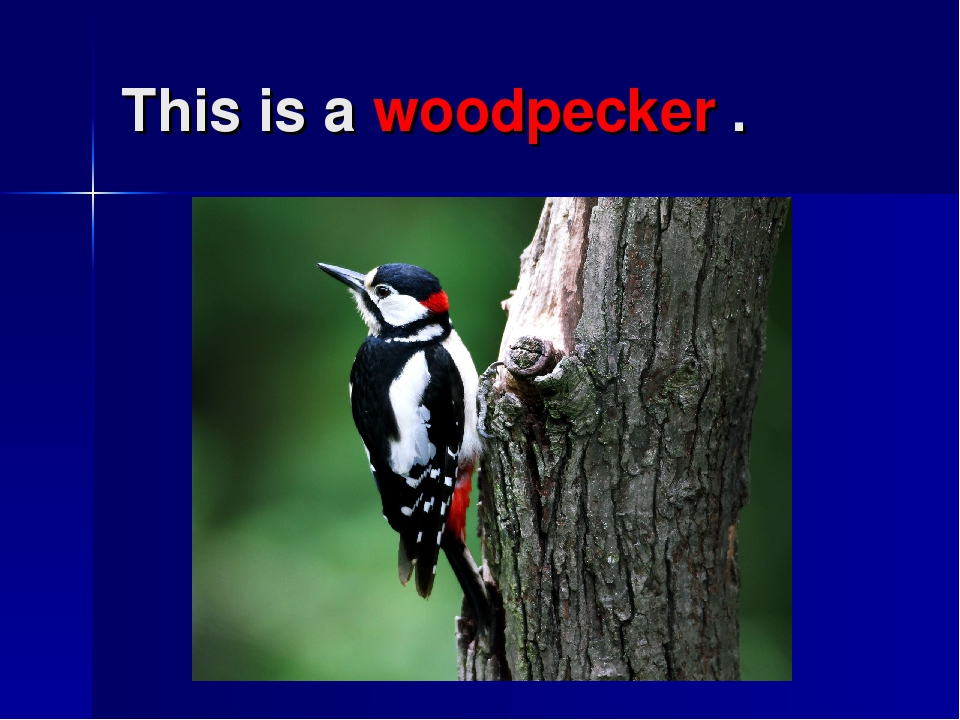 This is a woodpecker .