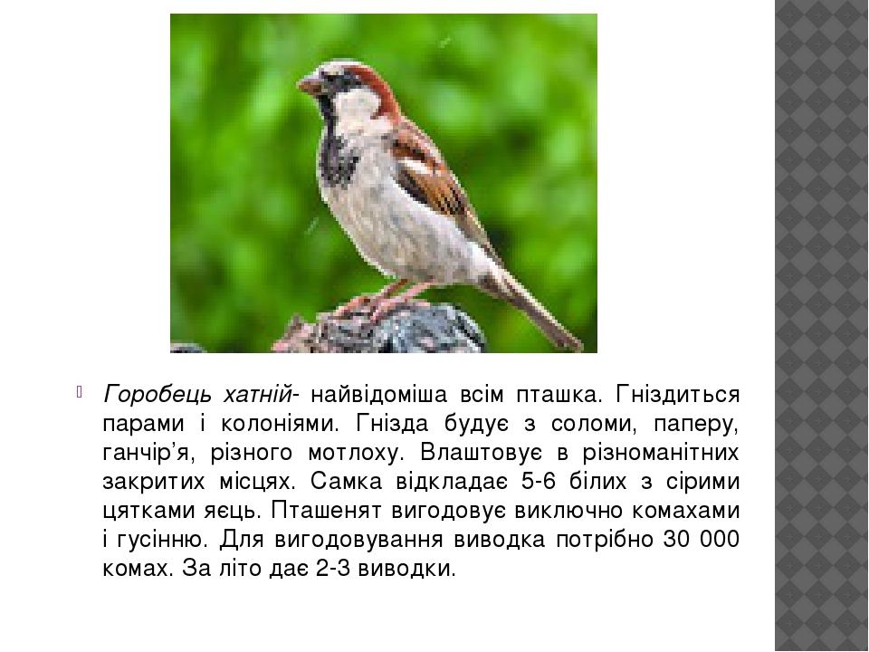 Горобець хатній- найвідоміша всім пташка. Гніздиться парами і колоніями. Гнізда будує з соломи, паперу, ганчір'я, різного мотлоху. Влаштовує в різн...