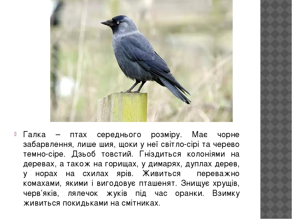 Галка – птах середнього розміру. Має чорне забарвлення, лише шия, щоки у неї світло-сірі та черево темно-сіре. Дзьоб товстий. Гніздиться колоніями ...
