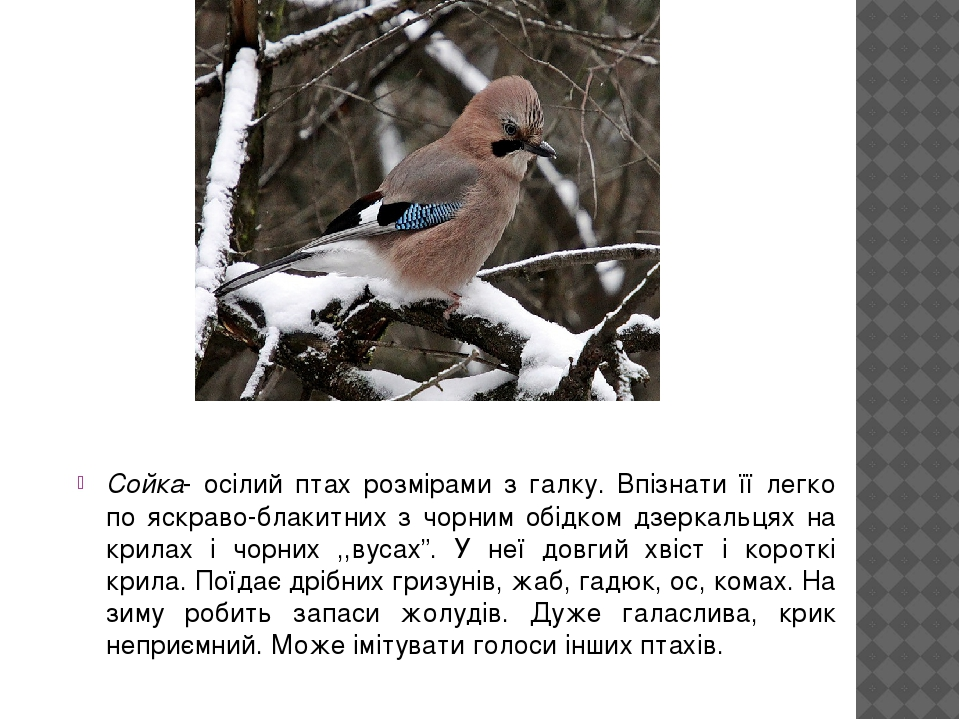 """Сойка- осілий птах розмірами з галку. Впізнати її легко по яскраво-блакитних з чорним обідком дзеркальцях на крилах і чорних ,,вусах"""". У неї довгий..."""