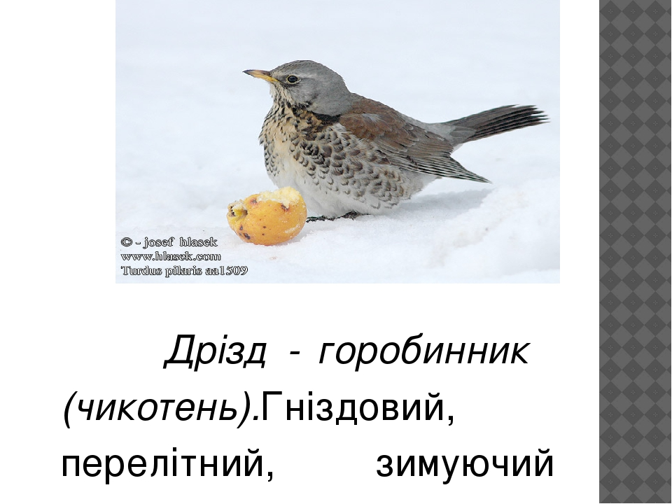 Дрізд - горобинник (чикотень).Гніздовий, перелітний, зимуючий птах. Гніздиться на узліссях лісів колоніями. Харчується дощовими черв'яками, молюска...